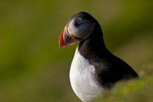 Atlantic puffin between grass