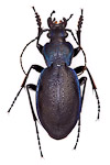 Carabus problematicus ground beetle