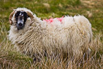 Scottish Blackface ram on green field