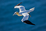 Northern Gannet (Morus bassanus) in flight