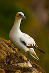 Northern Gannet (Morus bassanus) on cliff