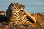 Grey seal (Halichoerus grypus) watching