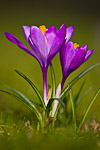 Purple crocus with yellow stamens