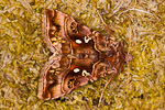Beautiful golden Y Autographa pulchrina)