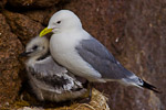 Kittiwakes (Rissa tridactyla) on nest