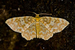 Small Yellow Wave (Hydrelia flammeolaria)