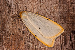 Four-dotted Footman (Cybosia mesomella)