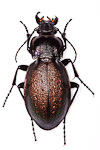 Carabus nemoralis ground beetle