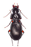 Pterostichus madidus ground beetle