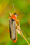 Soldier beetle (Cantharis livida)