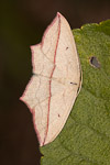 Blood-vein (Timandra comae) moth