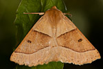 Scalloped Oak (Crocallis elinguaria) moth