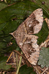 Fortified Carpet (Scotopteryx moeniata)