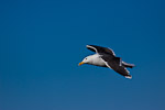 Great Black-backed Gull (Larus marinus) in flight
