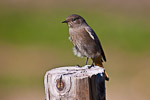 Female black redstart (Phoenicurus ochruros)