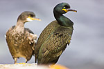 European Shags (Phalacrocorax aristotelis)