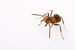 Scottish Wood Ant (Formica aquilonia)