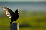Starling ( Sturnus vulgaris)displaying