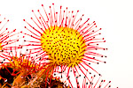 Round-leaved sundew (Drosera rotundifolia)
